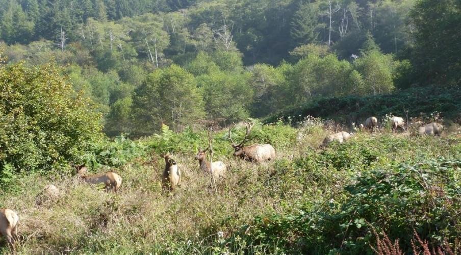 P1140989 Elk harem 1 (Large)