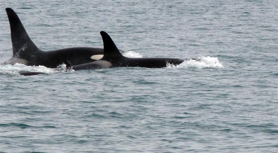 P1190259 Orcas (Large)