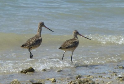 P1000829 Beach Birds