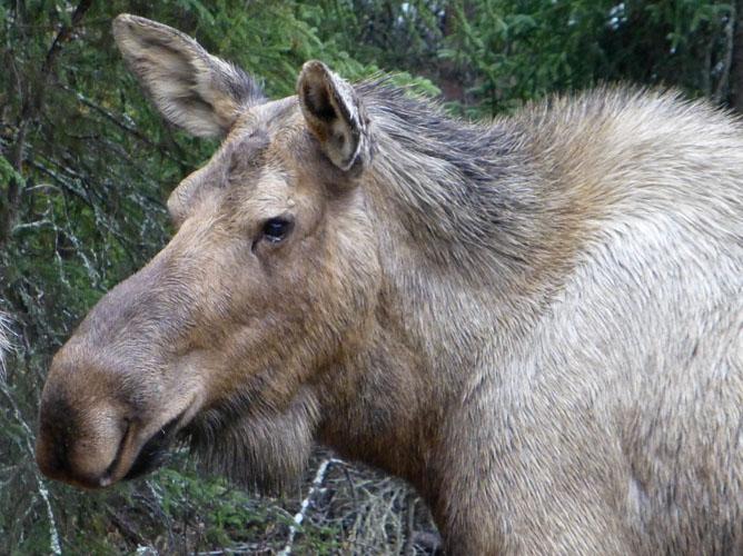 P1010402 mama moose