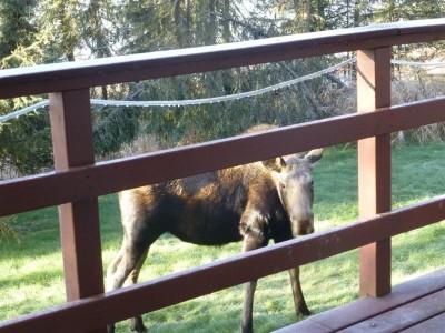 P1020589 moose (Medium)