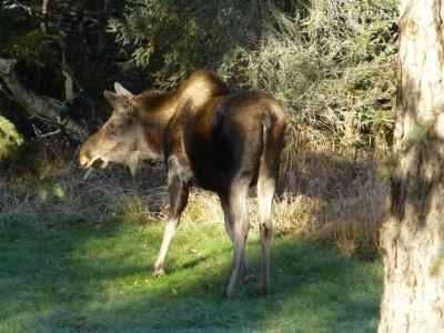 P1020602 moose (Medium)