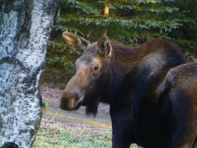 P1020621 moose (Medium)