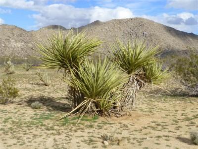 P1040990 desert plant (Medium)